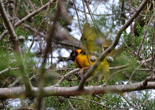 Photo: Weaver birds