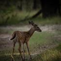 Whitetail deer (fawn)