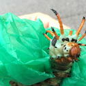 Hickory horned devil (Regal moth larvae)