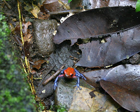 Photo: Blue jeans dart frog