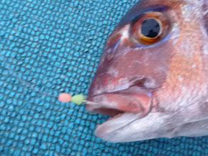 Photo: ピンボケですが、真鯛キャッチ! ・・・ああああーっ!