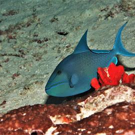 by Phil Bear - Animals Fish ( triggerfish, reef, coral, fish, coral reef, maldives )