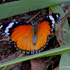 Danaid Eggfly (female)