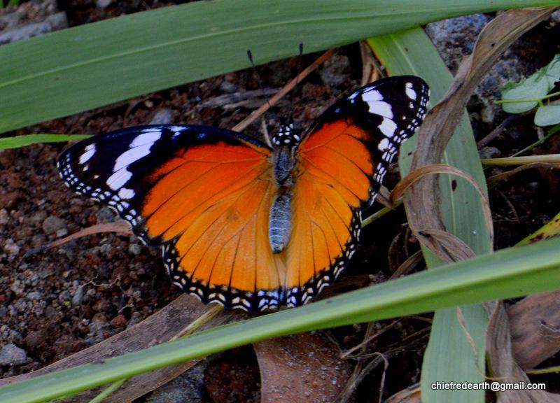 Danaid Eggfly (female)