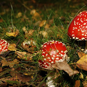 amanitas by Mihai Cristian - Nature Up Close Mushrooms & Fungi ( nice. all done, fungi, amanita muscaria, great quiet, mashroom )