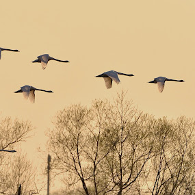 Polanecké rybníky by Jiří Staško - Animals Birds