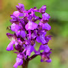 Green-winged Meadow Orchid