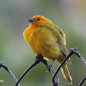 Chirigüe azafranado - Saffron finch