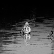 Photo: Its All About Pelicans!
