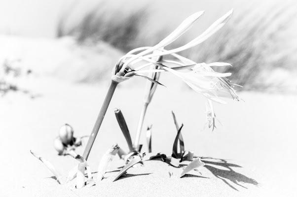 il giglio delle dune di AntonioDiGregorio