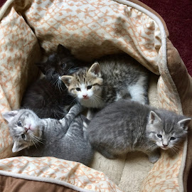 Snuggling Together  by Debbie White - Animals - Cats Kittens ( feline, snuggling, kittens, cute,  )