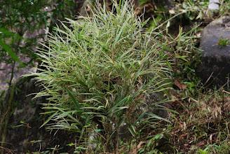 Photo: Bamboosa multiplex varigata