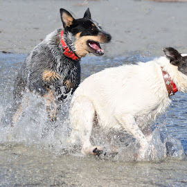 Beach run by Kaz B - Animals - Dogs Playing (  )