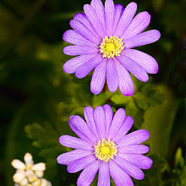 Duo violet by Gérard CHATENET - Flowers Flowers in the Wild