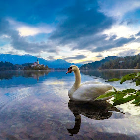 Swan at Lake by Andrej Folo - Animals Birds ( clouds, reflection, church, white, lake, leaf, morning, photography, blue sky, sky, blue, slovenia, bled, swan, nikon,  )