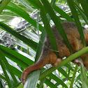 Python hunting Possum