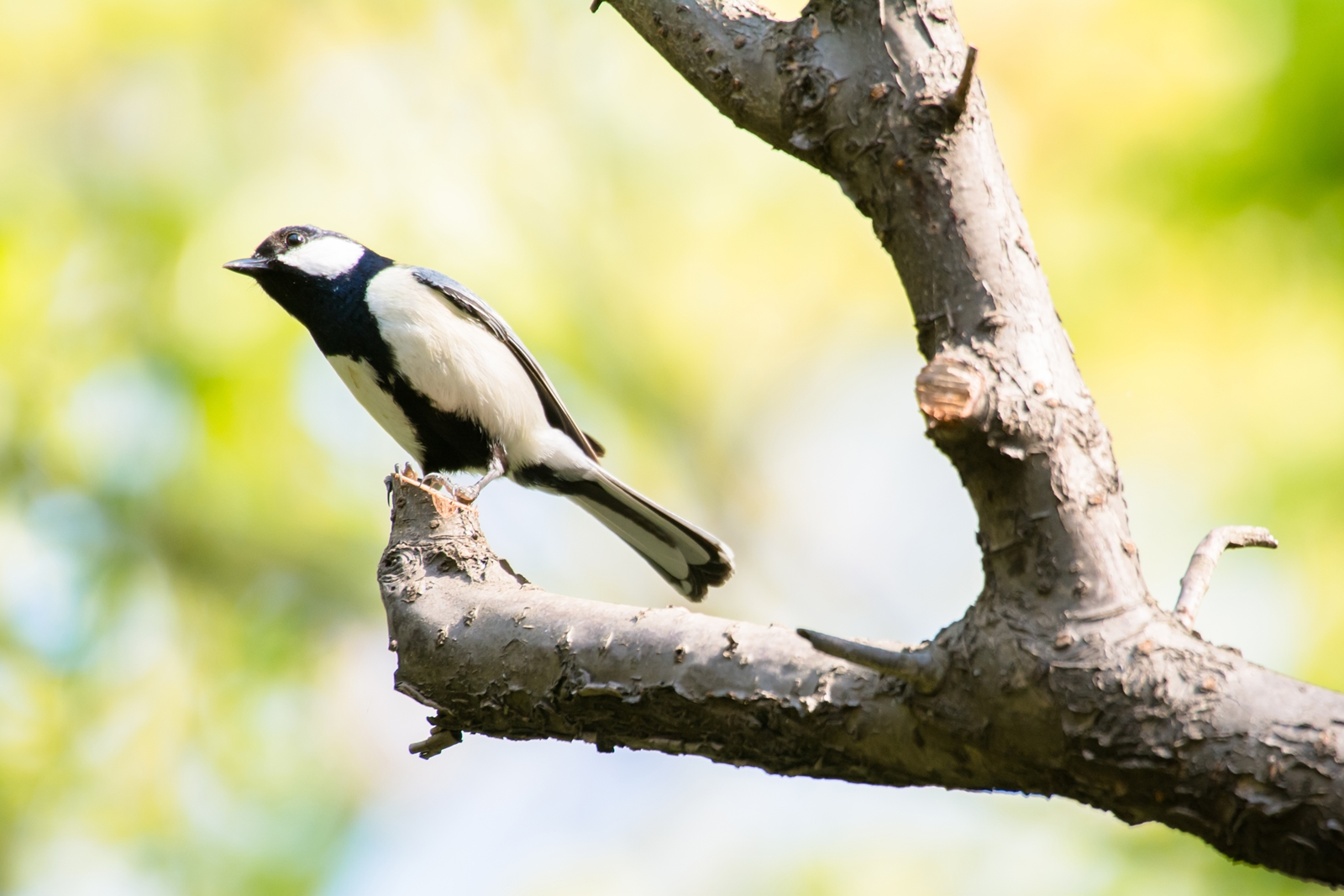 Photo: 萌ゆる光 Shine of sprouting.  森が萌える 眩いばかりの 生命の輝きを放ち 住人達をそっと包み込んでいく  Japanese Tit. (シジュウカラ)  #cooljapan #365cooljapanmay  #birdphotography #birds  #kawaii  Nikon D7100 SIGMA APO 50-500mm F5-6.3 DG OS HSM [ Day350, April 27th ]  小鳥の詩朗読 https://youtu.be/spAavDEW8JA?list=PL2YtHGm0-R3qVsaqvQe9OYdJFCkI98wzF