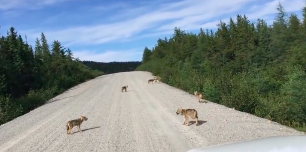 In the video, seven wolf pups can be seen wandering on to a gravel road and working on their howls.