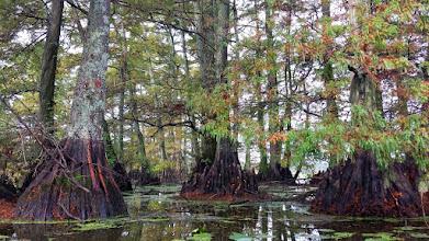 Photo: Cypress Knees