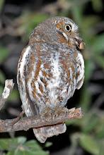 Photo: Elf Owl (male)