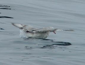 Photo: Southern fulmar - pelagic trip out of Vina del Mar, Chile - Nov 16, 2010