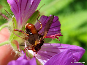 Photo: Sicus ferrugineus