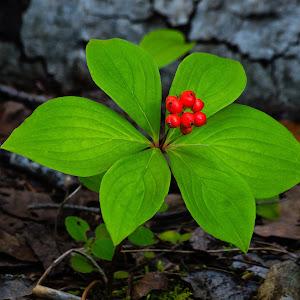 Bunchberry-3.jpg
