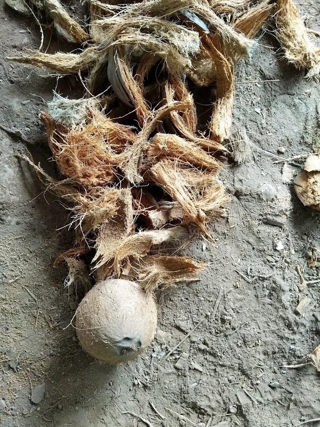 ココナッツの皮を剥ぐ