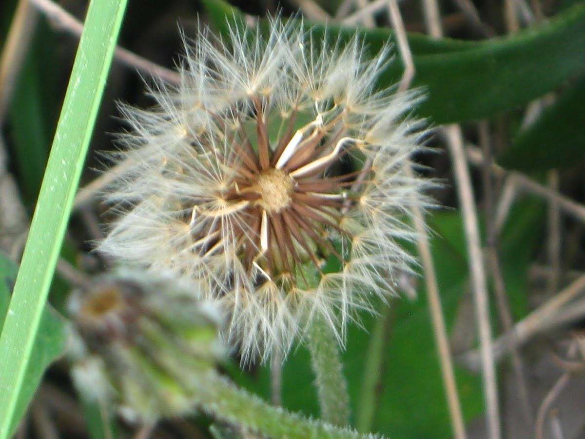 Dente-de-leão (common dandelion)