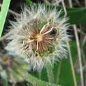 Dente-de-leão (common dandelion)