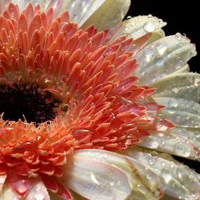 Beauty Gerberra2 by Benyamin Kristiawan - Nature Up Close Flowers - 2011-2013 ( white flower, beautyful flower, pink, pinky, flower,  )