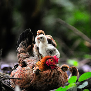 chicken and chick.jpg
