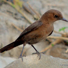 Brown Rock Chat Or Indian Chat