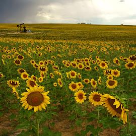 Sunflower Field & Oil Pump by Justin Giffin - Flowers Flower Gardens ( flower garden, sunflowers, oil pump, colorado, sunflower field, flowers,  )