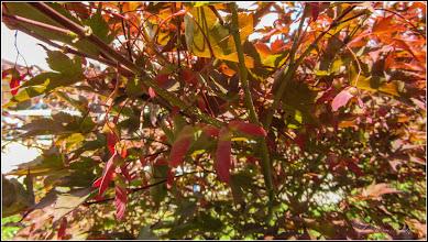 Photo: Arțar roșu (Acer palmatum atropurpurea) - din Turda, de pe Str. Andrei Muresanu, spatiu verde - 2018.06.25
