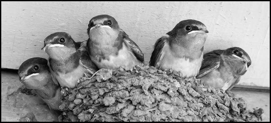 Barn Swallows by Dave Lipchen - Black & White Animals ( barn swallows )