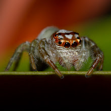 Photo: Garden Jumping Spider - Ambush