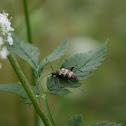 Speckled Flower-longhorn