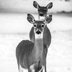 Deer by Denise Johnson - Black & White Animals ( animals, winter, whitetail deer, nature, black and white, white, wildlife, brown, landscape, animal, deer,  )