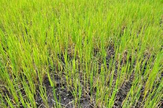 Photo: Non-SRI Plot (side by side comparison with previous SRI plot): SRI and traditional plant development Mlimba village, Mlimba, Morogoro, TZ [Photo by Erika Styger, 2012].