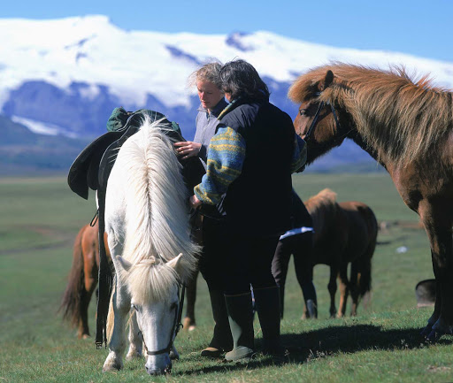 Iceland-horses.jpg - Icelandic horses stand an average of four to five feet tall. Cute!
