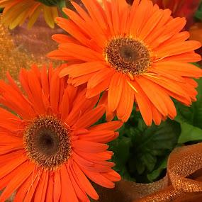 Orange daisies. by Peter DiMarco - Flowers Single Flower ( orange flower, floral, flowers, daisies, flower )