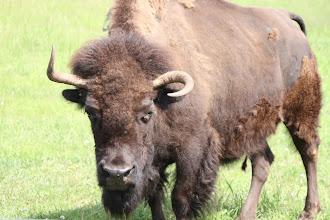 Photo: 07/06/2013 - Bear Country Park, Rapid City, South Dakota - Buffalo / Bison