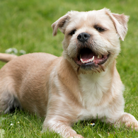 Happy by Mick Greaves - Animals - Dogs Portraits ( grass, color, happy, dog, portrait,  )
