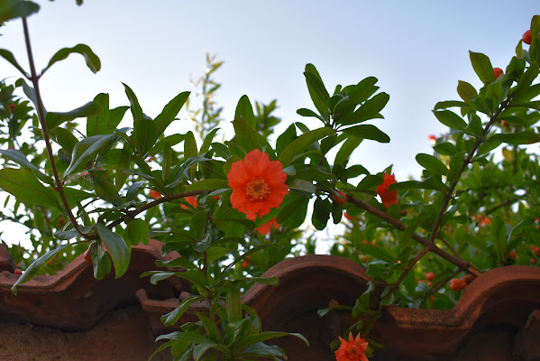 Melograno in fiore di TNST