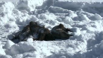 Wolf Invasion