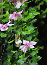Photo: Clematis 'Pink Phantasy' closeup 2