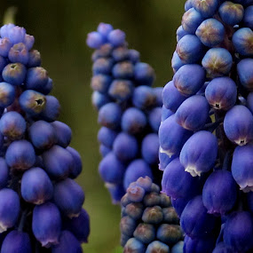 by Bozidarka Scerbe Haupt - Flowers Flowers in the Wild ( nature, blue, flowers, close up )