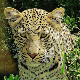 Leopard by Kurt Haas - Animals Lions, Tigers & Big Cats ( natural, natural beauty, beauty, nature, nature photo, predator, nature up close, nature and wildlife, beauty in nature, national geographic, beautiful, national park, wild life, wilderness, wild, wild animal, nature close up, nature photography, wildlife, national parks )