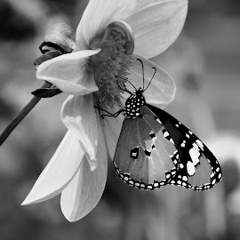 BUTTERFLY by SANGEETA MENA  - Black & White Animals (  )
